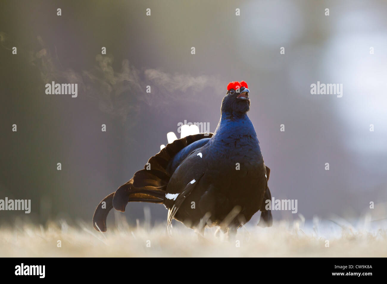 Black Grouse Tetrao tetrix male calling at lek site in Kuusamo, Finland in April. - Stock Image