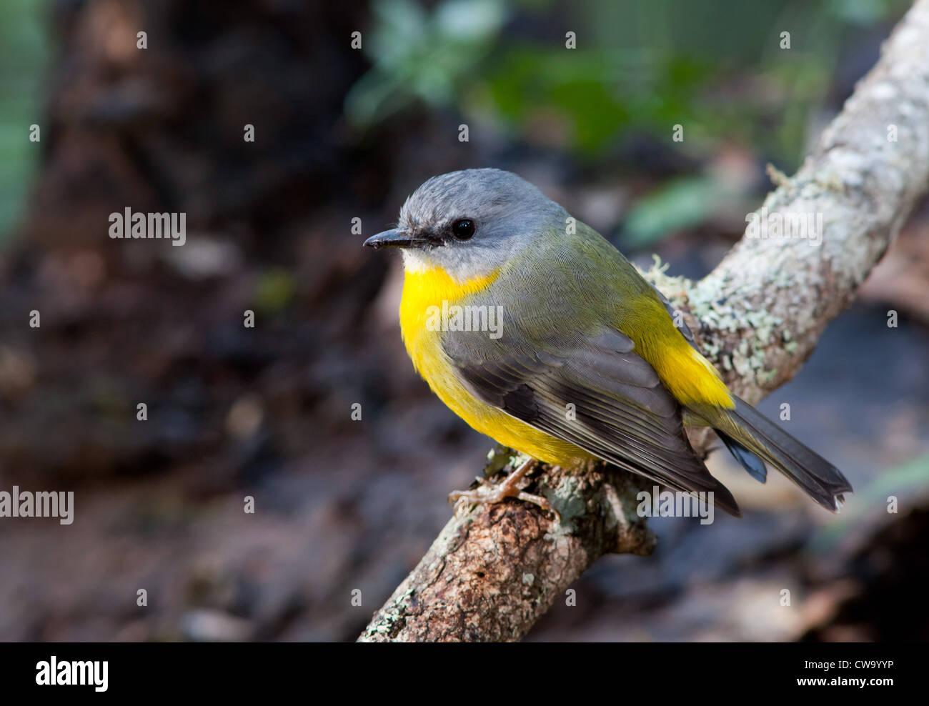 Eastern Yellow Robin, Eopsaltria australis, NSW, Australia Stock Photo