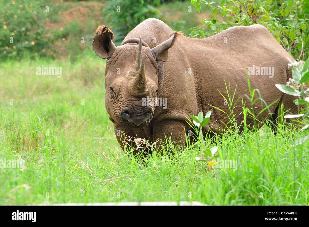 Two Horned Rhinoceros (Ceratotherium simum ) - Stock Image
