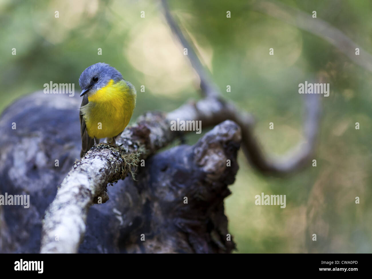 Eastern Yellow Robin, Eopsaltria australis, Australia Stock Photo