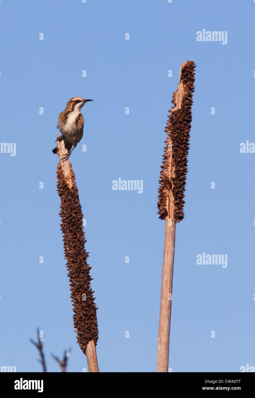 Tawny-crowned Honeyeater, Phylidonyris melanops, Australia - Stock Image