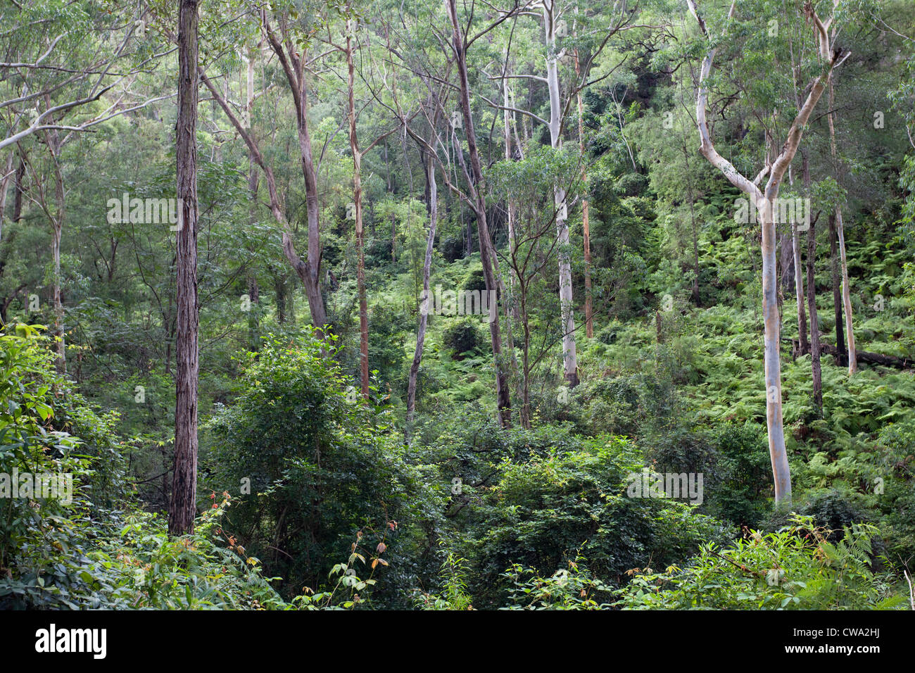 Wet Eucalypt Forest, Dharug National Park, NSW Australia - Stock Image