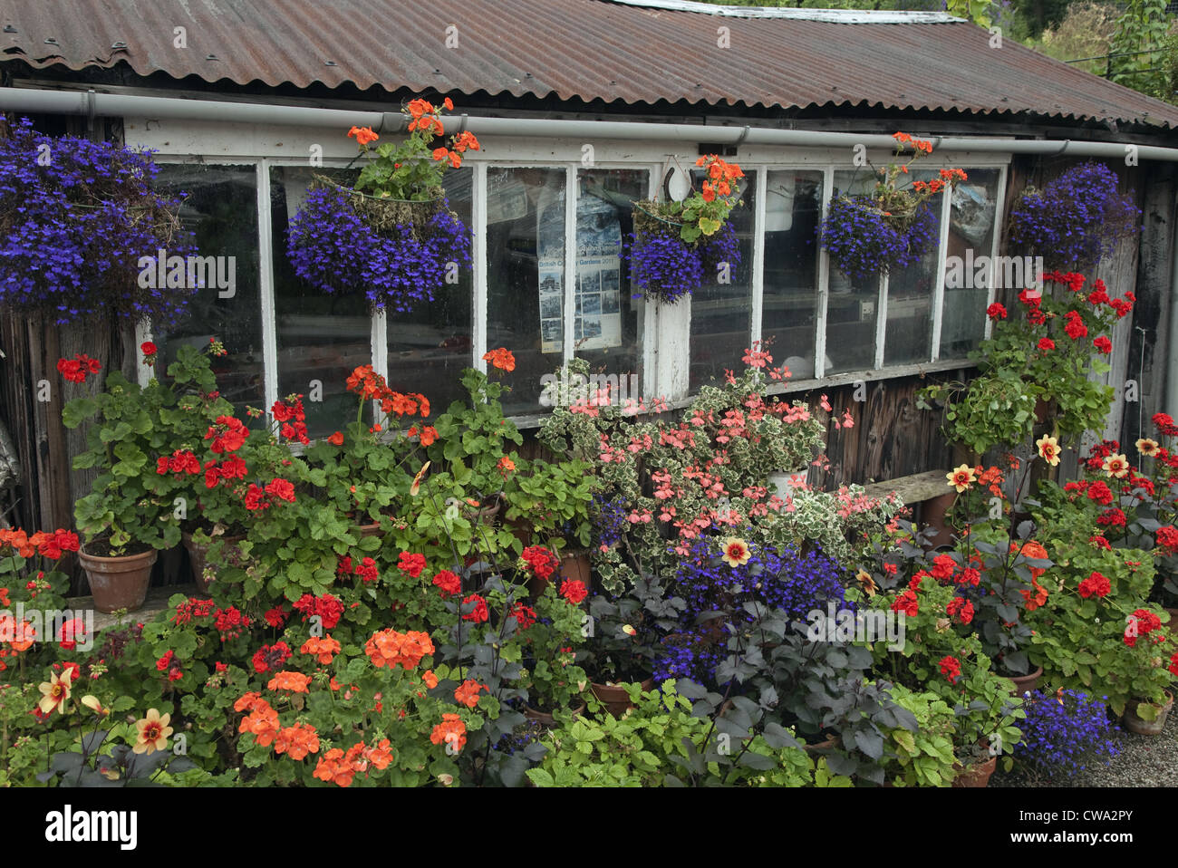 Garden potting shed with hanging baskets and geraniums stock photo garden potting shed with hanging baskets and geraniums workwithnaturefo