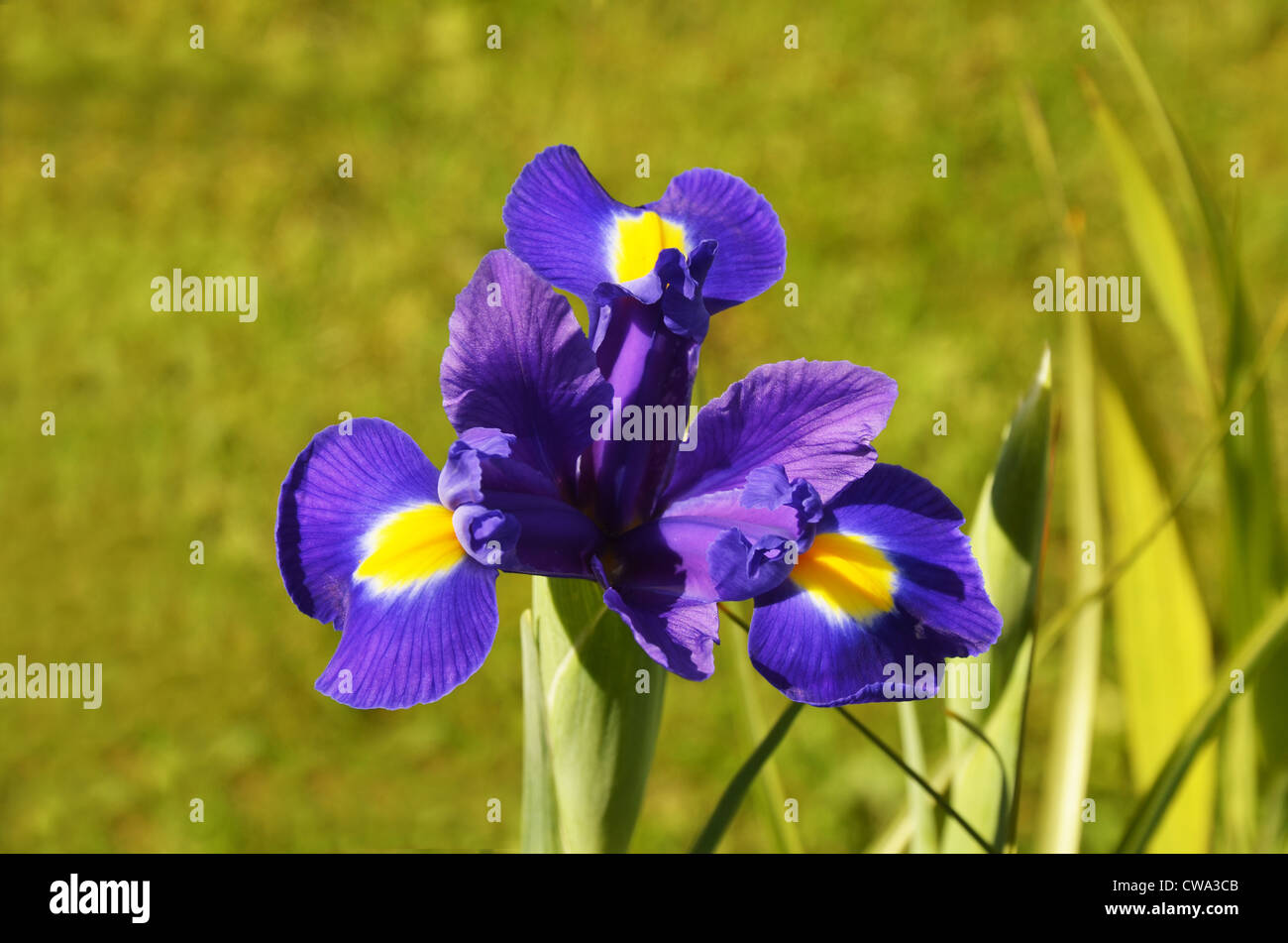 Bearded Lily Flower Flowers Stock Photos Bearded Lily Flower