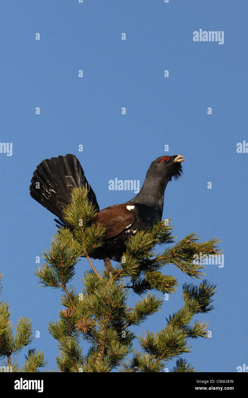 male capercaillie standing on the finnish pine, Karelia, Finland - Stock Image