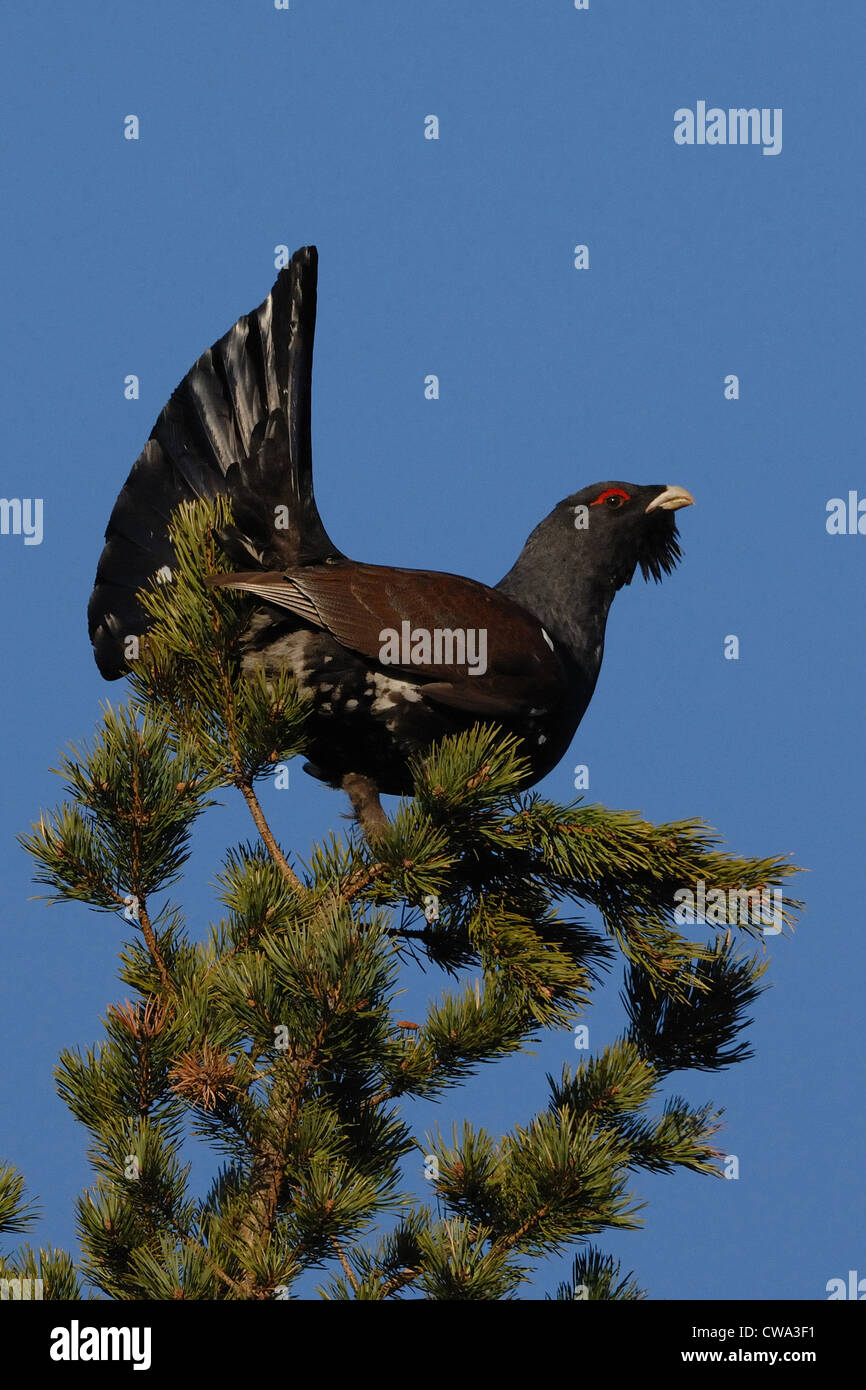 capercaillie standing on the finnish pine, Karelia, Finland - Stock Image