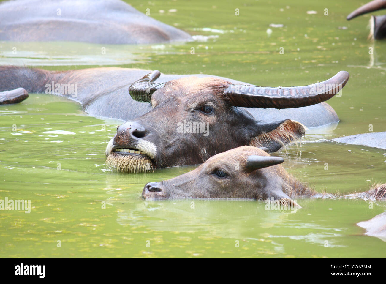 Buffalo rest in emerald pond - Stock Image