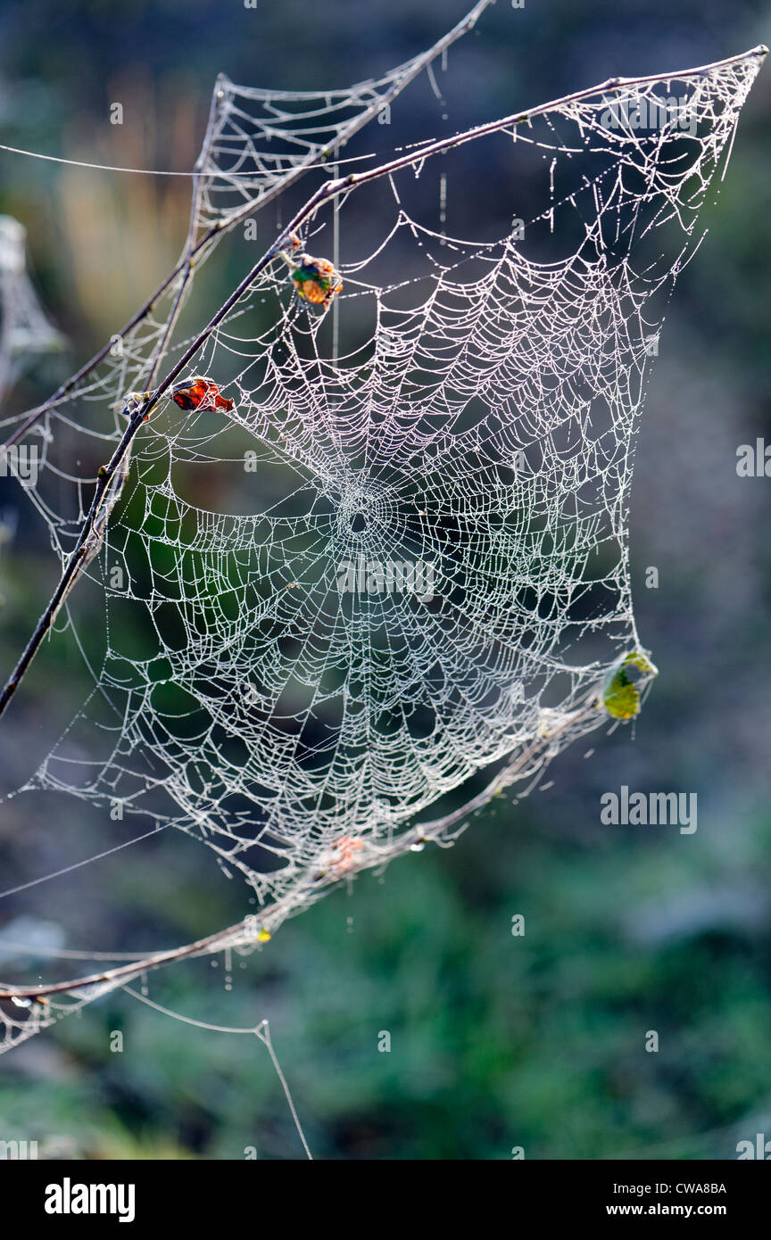 Spider webs with dew drops back lit on an English late Autumn morning - Stock Image