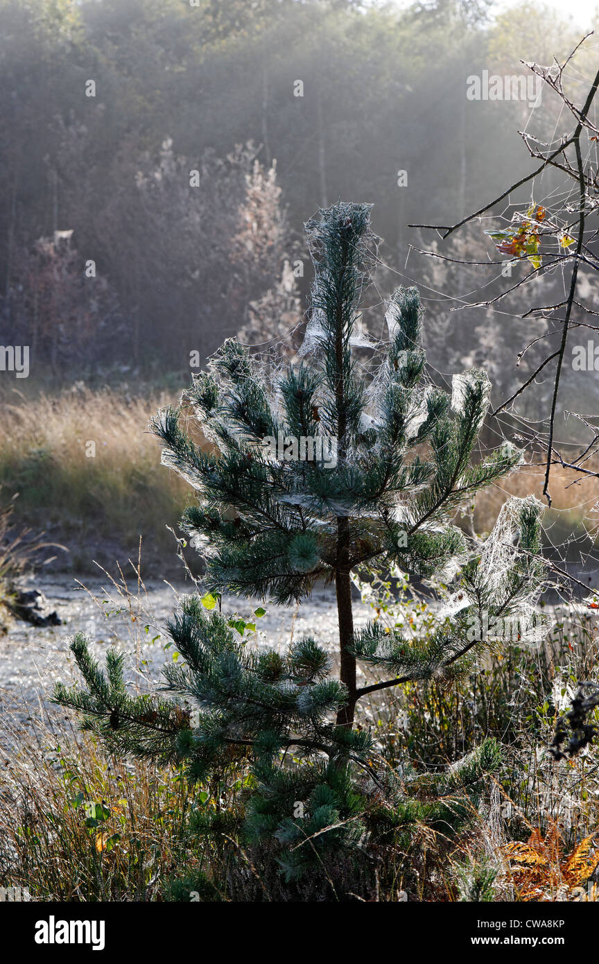 Early morning dew and spider webs covering fir trees / Christmas trees in an English forest during early Winter. - Stock Image