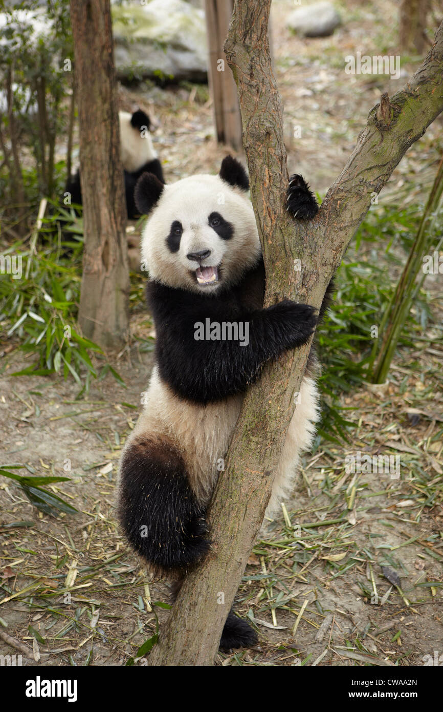 Giant Panda climbing a tree at the Chengdu Panda Breeding Research Center - Stock Image