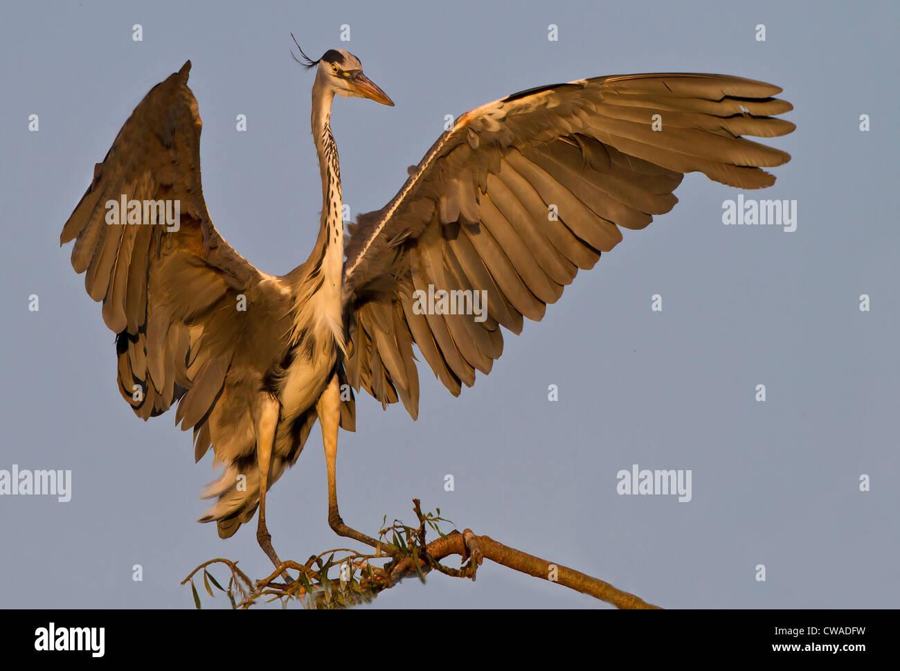 Grey Heron landing, Lonehill Dam, Johannesburg, South Africa Stock Photo