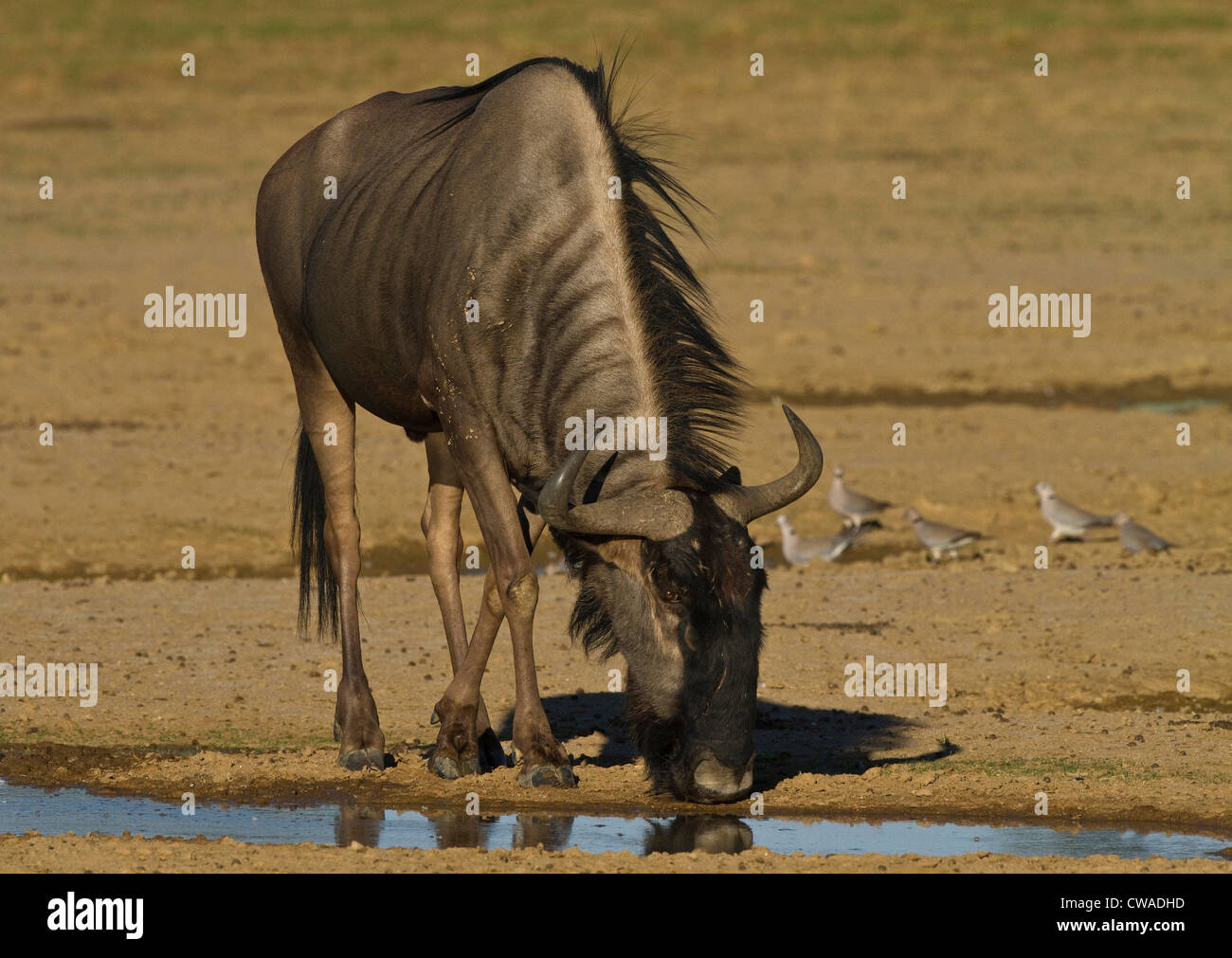 Wildebeest drinking, Kgalagadi Transfrontier Park, Africa - Stock Image