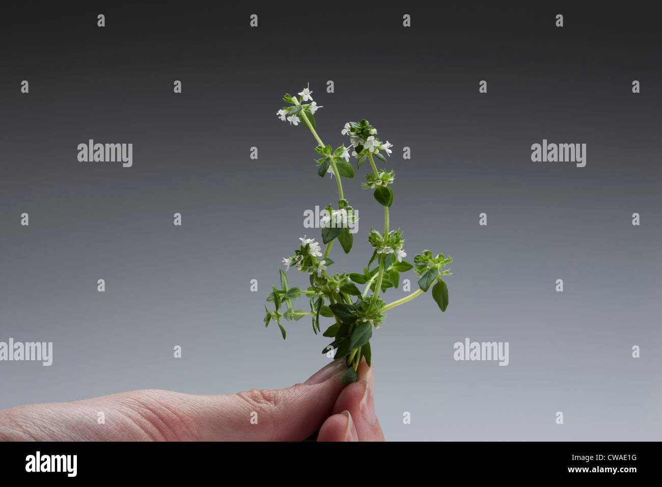 Person holding a sprig of thyme - Stock Image