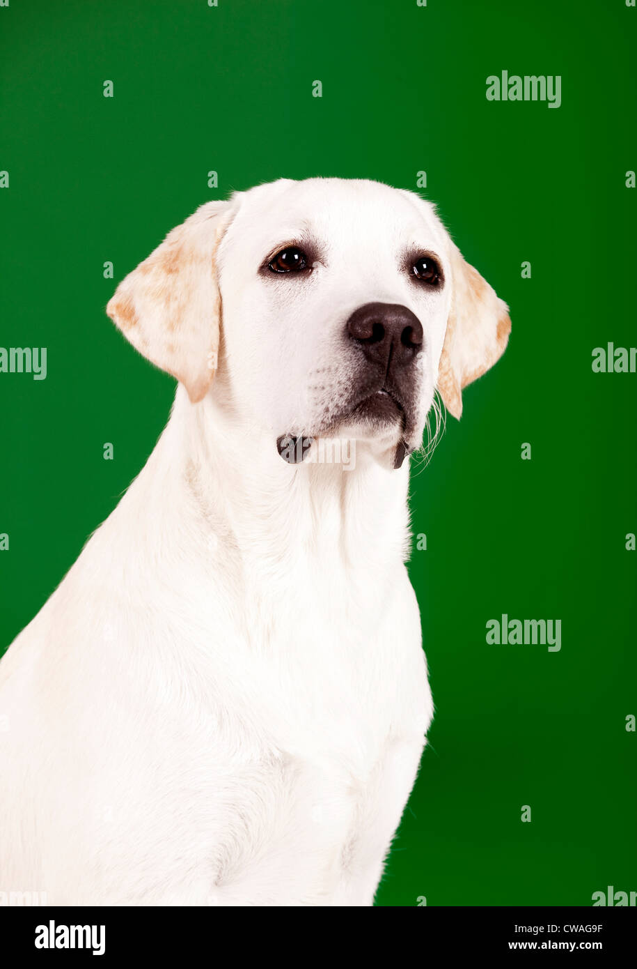 Beautiful dog of breed Labrador sitting and isolated on green - Stock Image