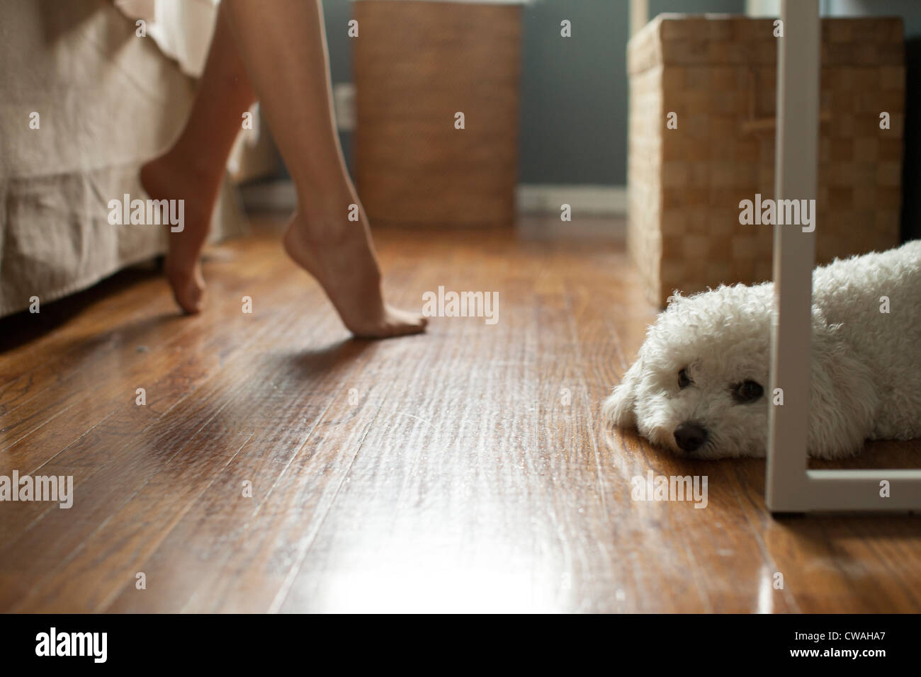 Poodle lying on floor of room, feet of woman in background - Stock Image