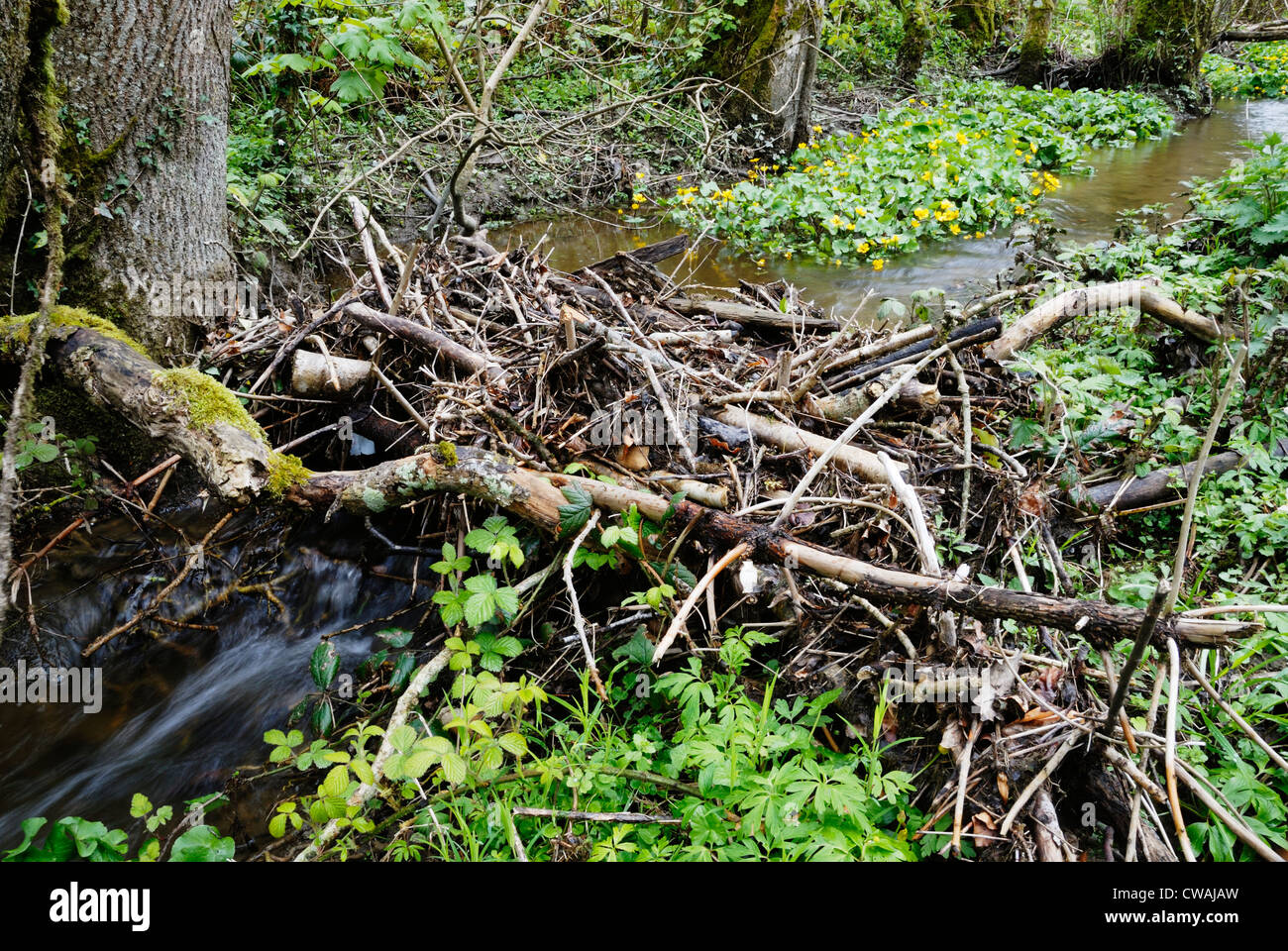 Woody debris damming a small stream creating freshwater habitat for Kingcups, Caltha palustris, Wales - Stock Image