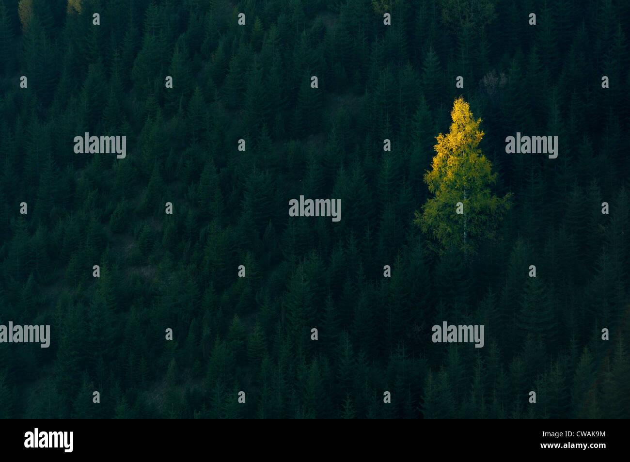 One tree illuminated in forest, Krasnik village area, Carpathian Mountains, Ivano-Frankivsk region, Ukraine - Stock Image