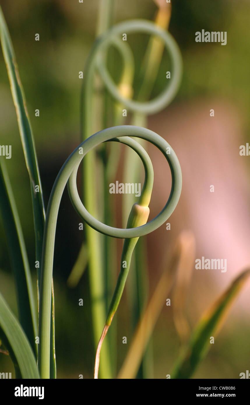tangle of fresh garlic (Allium sativum) scape - Stock Image