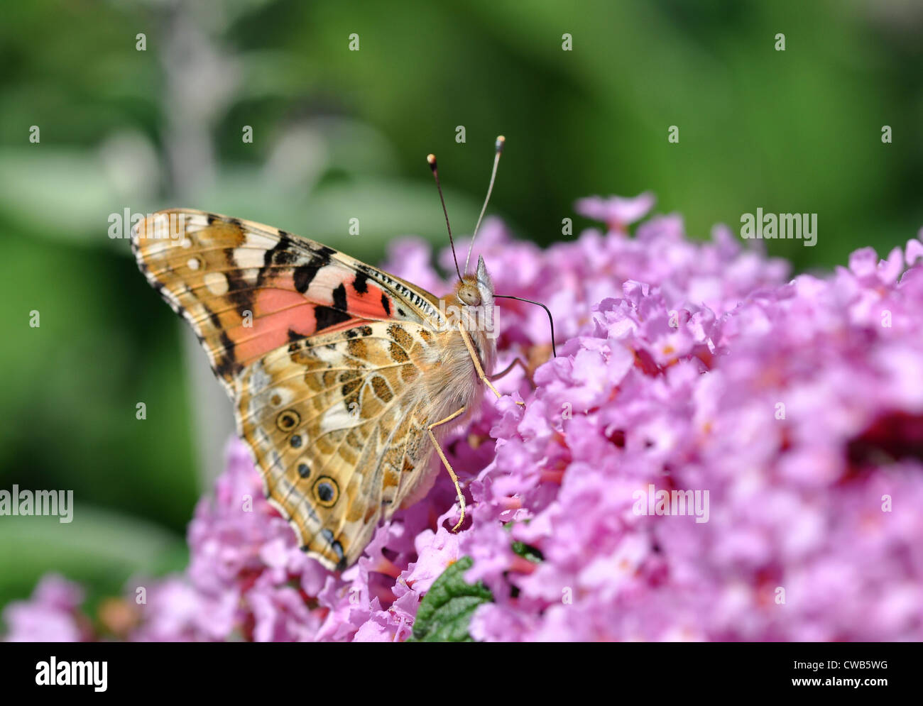 A butterfly on Lilac flower. - Stock Image