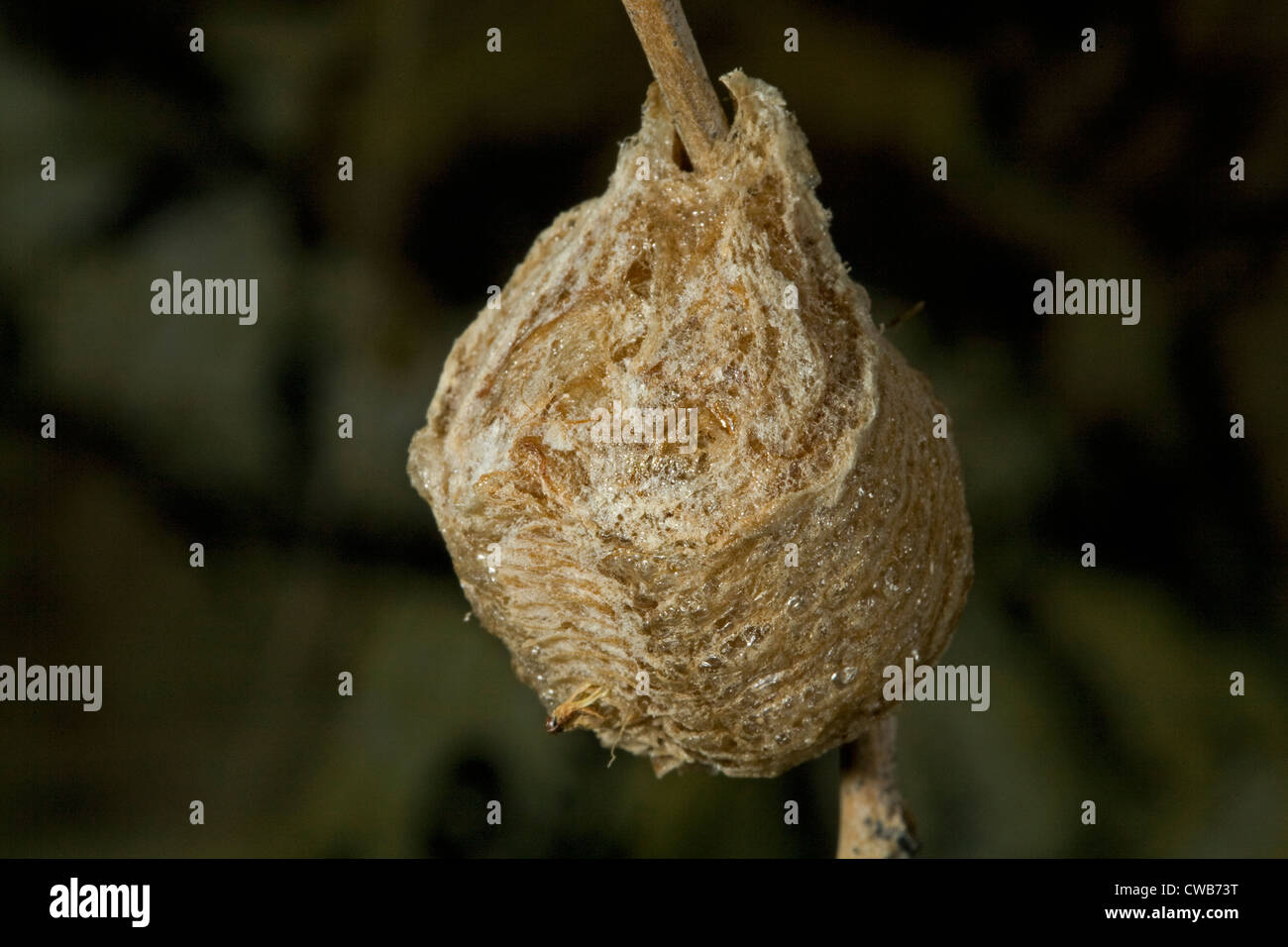 Praying Mantis Eggs High Resolution Stock Photography And Images