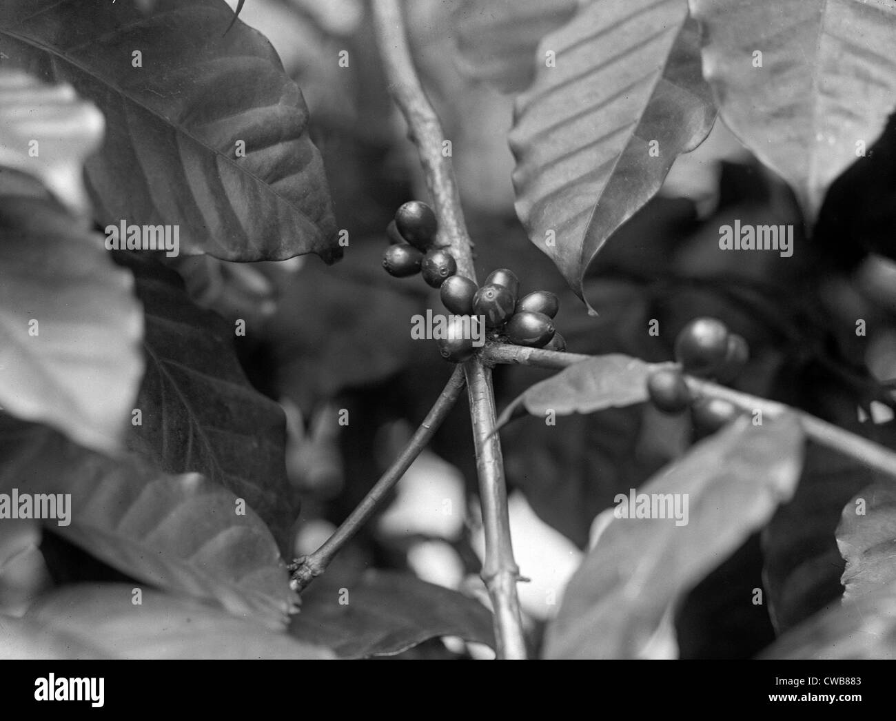 Detail of bean on coffee tree, 1910s - Stock Image