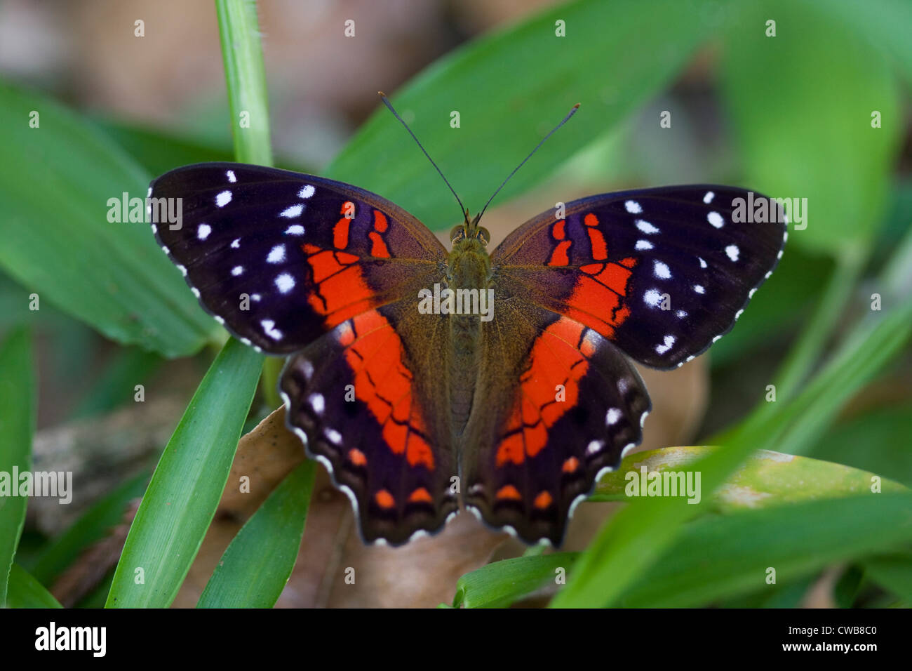 BROWN or SCARLET PEACOCK (Anartia amathea) Burro-Burro river, Iwokrama forest reserve, Guyana. - Stock Image