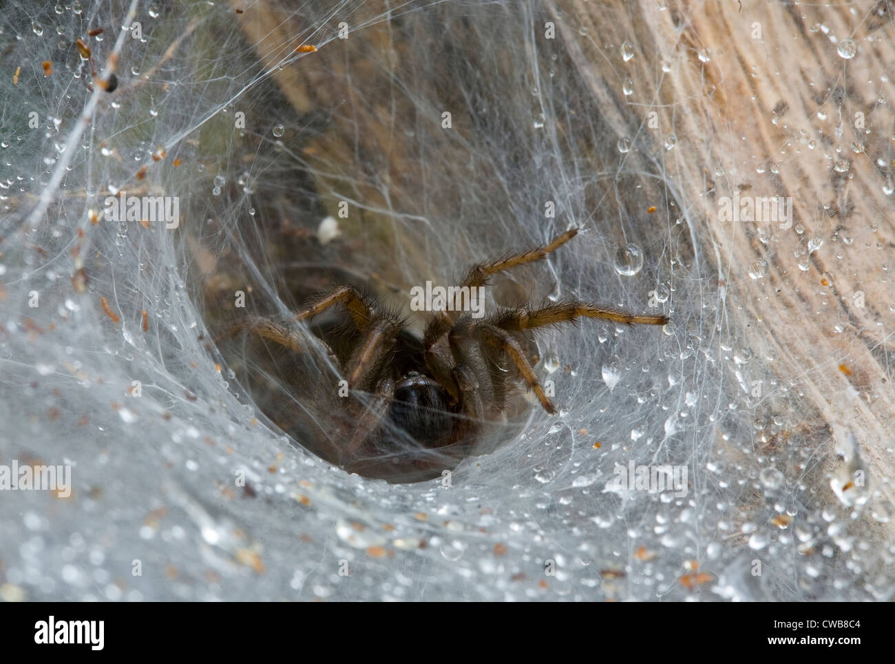 FUNNEL WEB TARANTULA or MYGALOMORPH (Linothele sp.) at web, Dipluridae. Kanuku mountains, Guyana, South America. - Stock Image