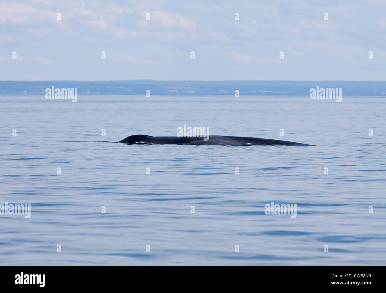 Blue whale diving in St Lawrence at Tadoussac - Stock Image