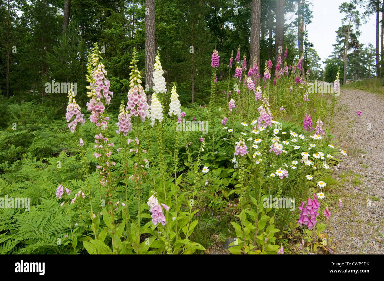 foxglove foxgloves wild flower flowers growing in swedish forest sweden flora and forna growing wild - Stock Image