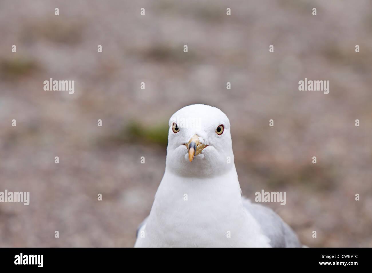Seagull,gull,Laridae - Stock Image