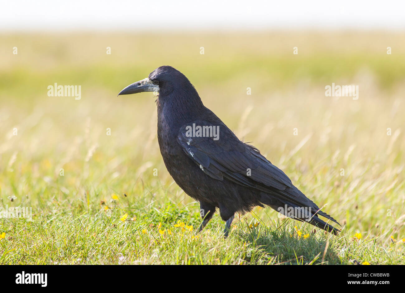 Black raven (Corvus corax) standing in a field in the Isle of Wight, southern England - Stock Image