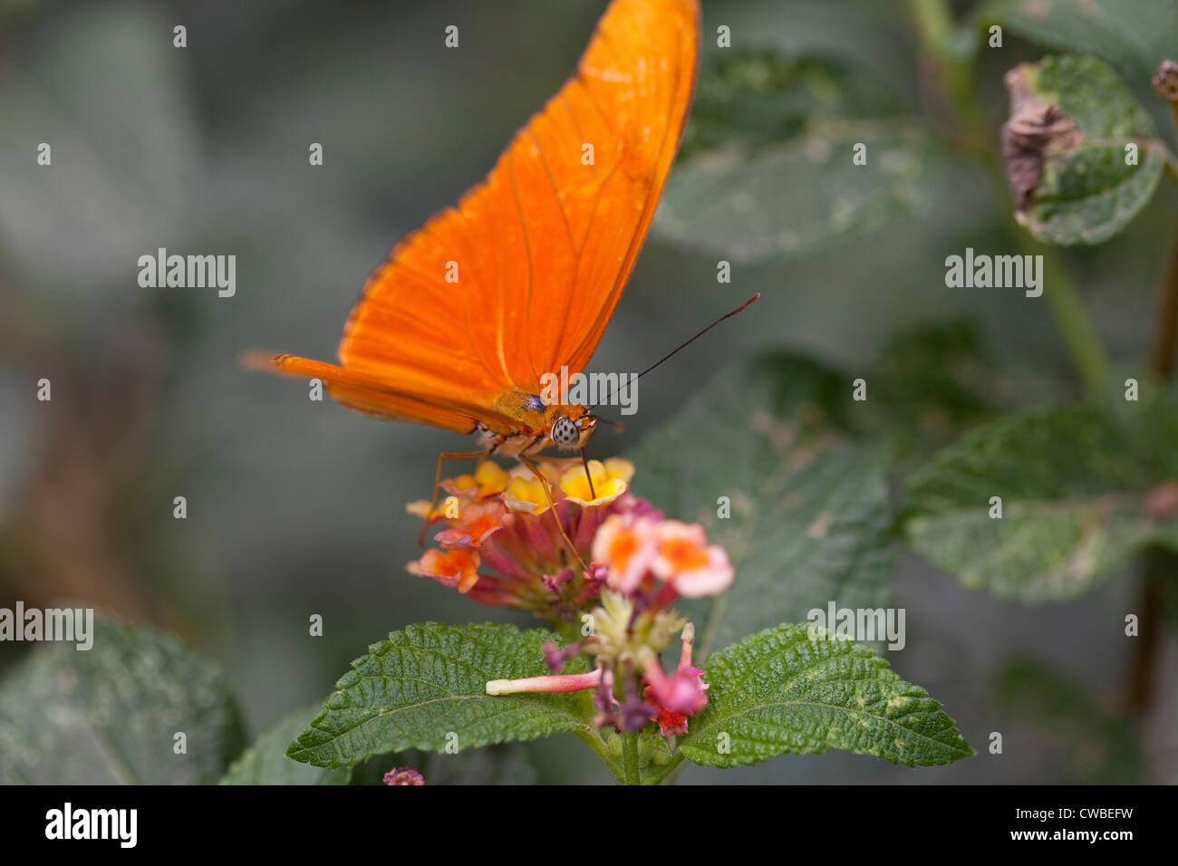 Julia Heliconia butterfly (Dryas iulia) extracting nectar from a flower at The Butterfly Farm, Costa Rica. - Stock Image