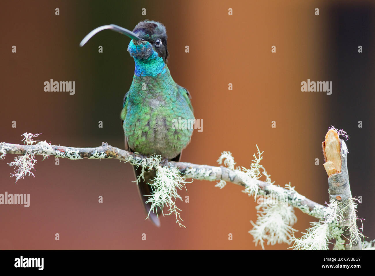 Male Magnificent Hummingbird (Eugenes fulgens) perched on a branch at Savegre Mountain Lodge, Costa Rica. Stock Photo