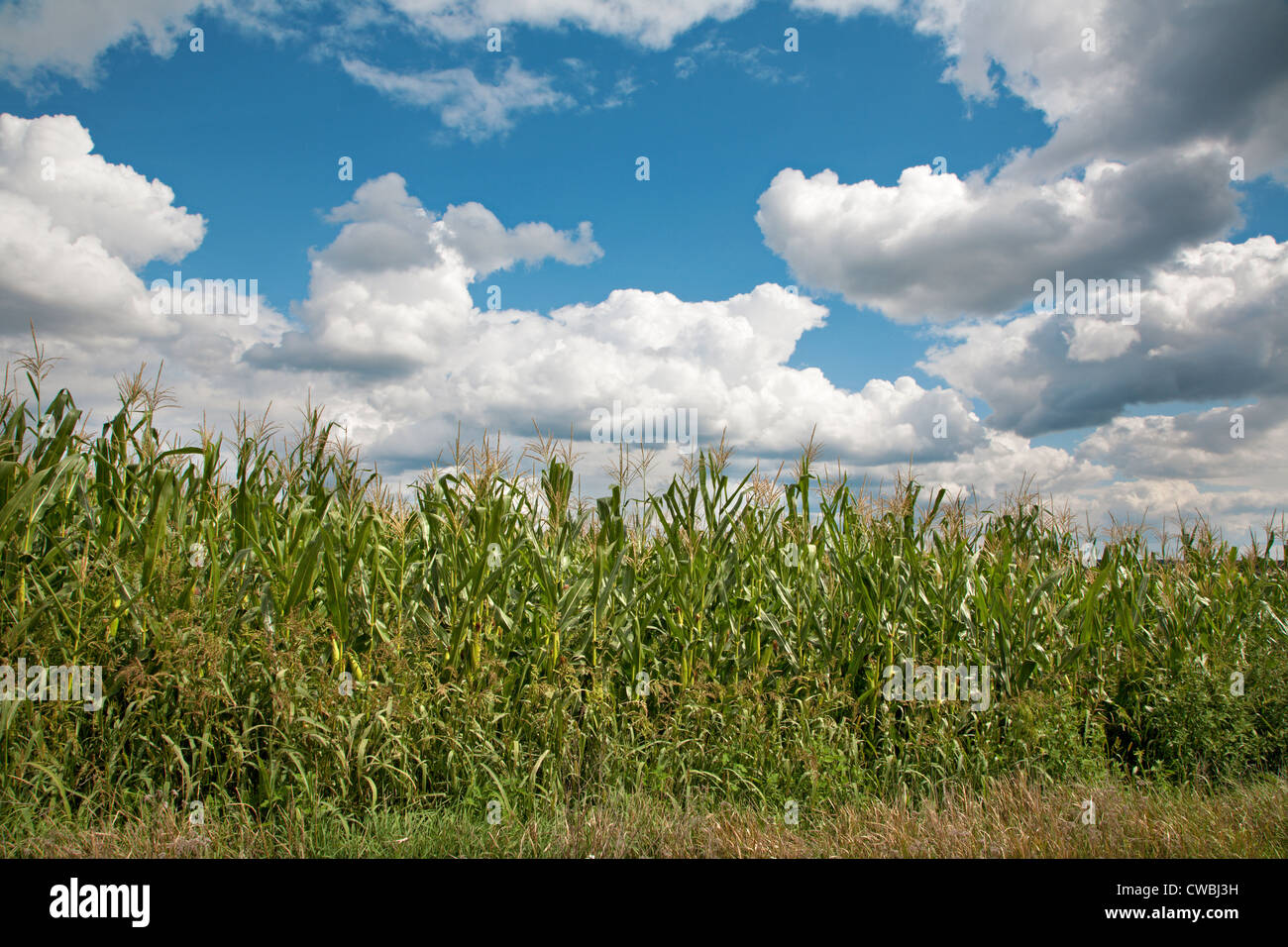 cloudscape and field of maize - Stock Image