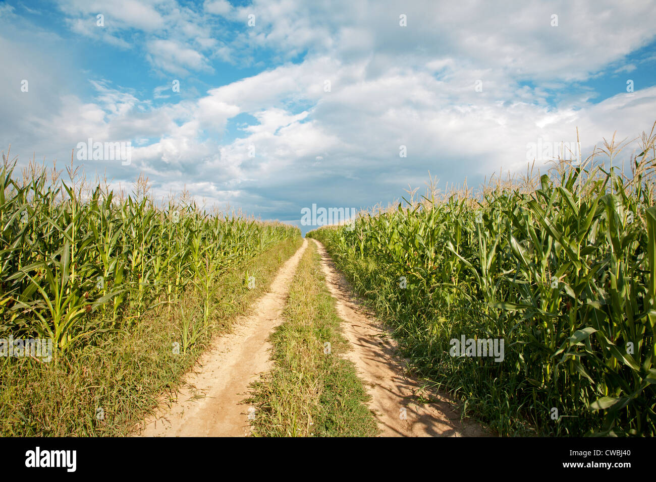 way on the field of maize - Stock Image