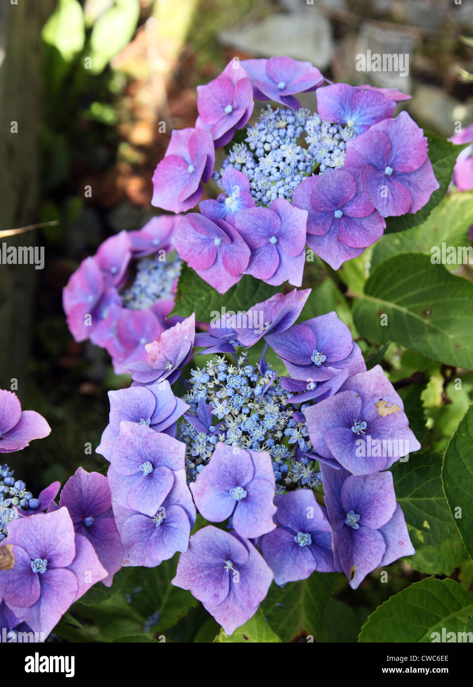 Blue lacecap hydrangea growing in alkaline soil and so turning pink - Stock Image