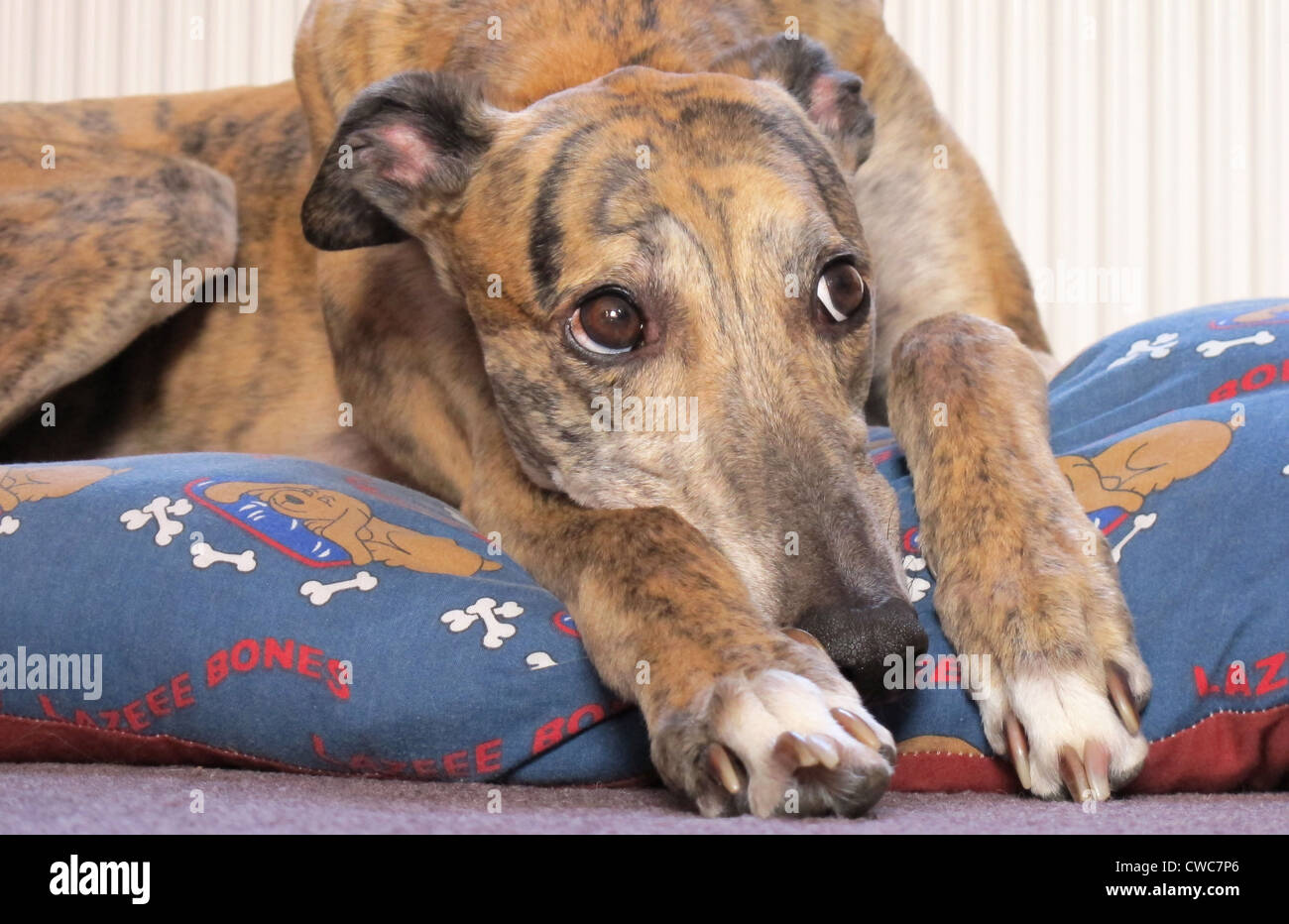 Close up portrait of a beautiful brindle coloured greyhound resting on his bed. - Stock Image