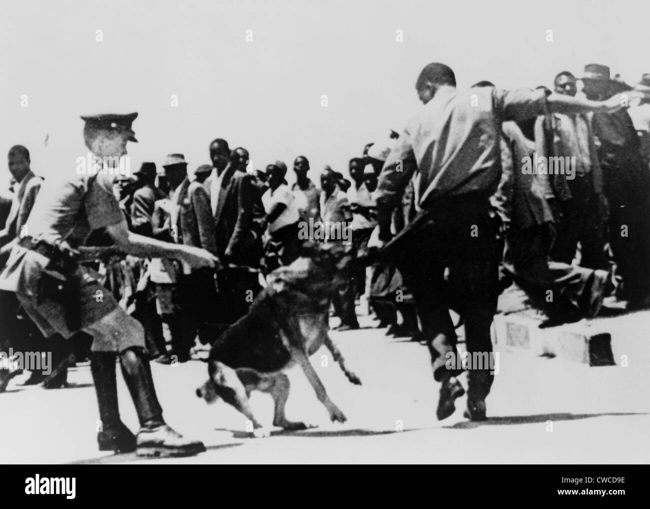 Police dog attacking a Black Zimbabwean man during a demonstration in 1965, the year a White minority led by Ian - Stock Image