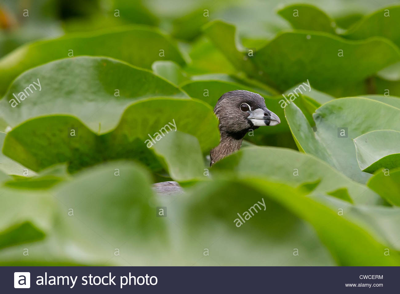 A Pied-Billed Grebe (Podilymbus podiceps) hides among the lily pads in the wetlands of the Seattle Arboretum. - Stock Image