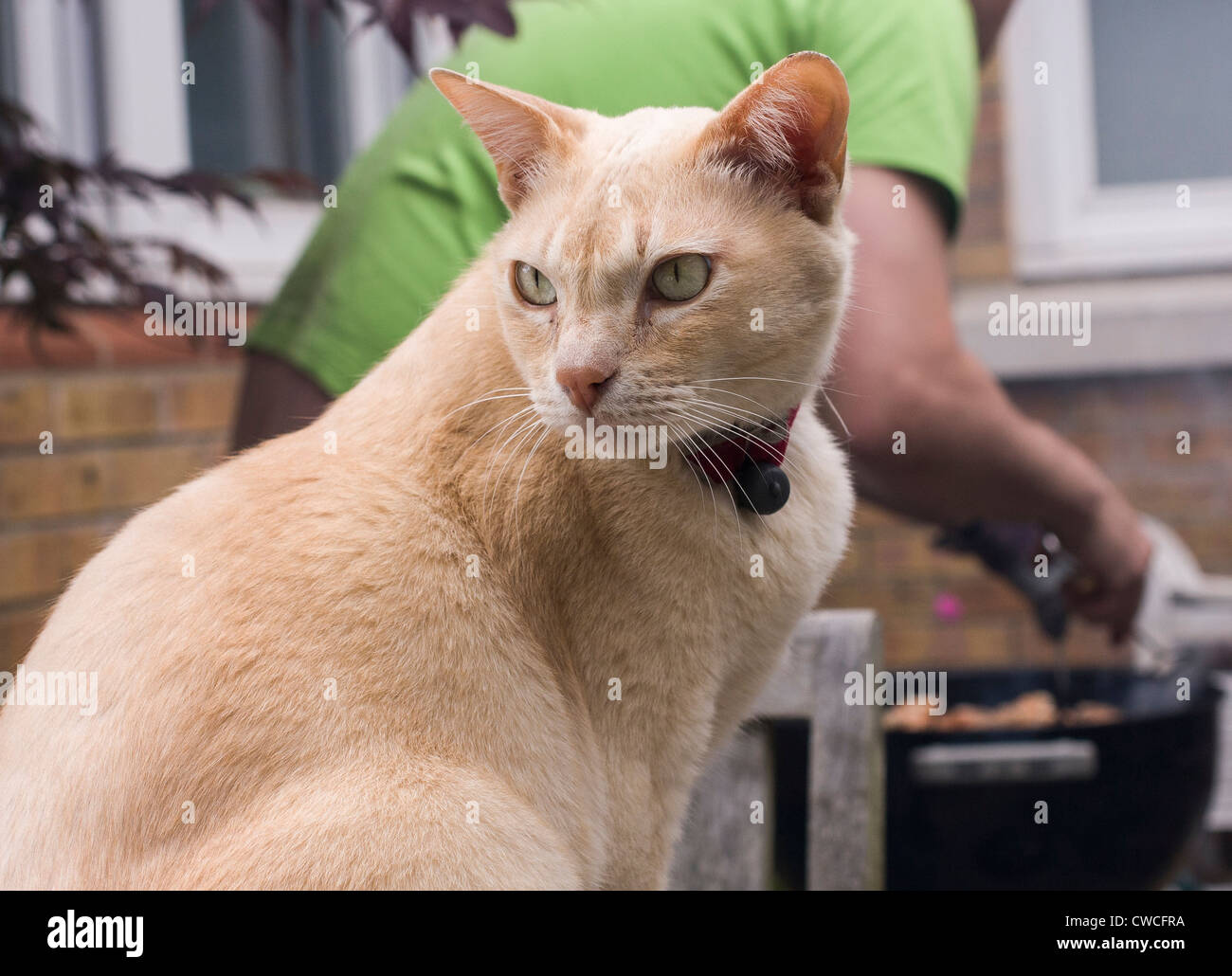 Burmese cat waits hopefully for a taste of the barbecue which is being tended in the background Stock Photo