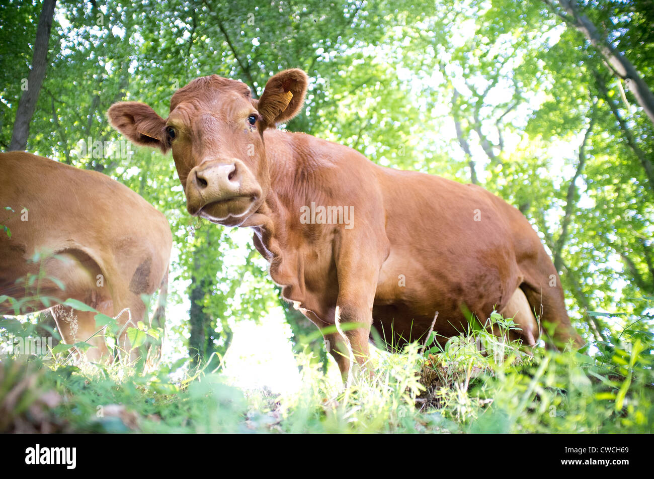 Cows in a field in France. - Stock Image