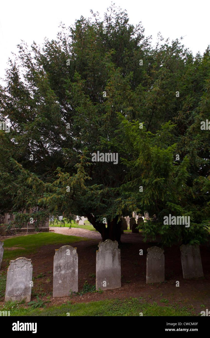 Yew tree in church yard taxus baccata - Stock Image