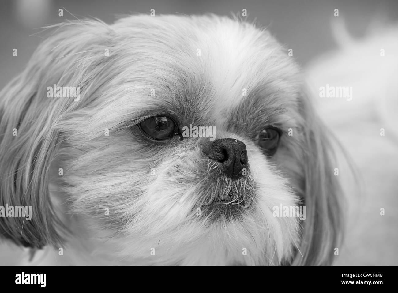 Tzu Black and White Stock Photos & Images - Alamy