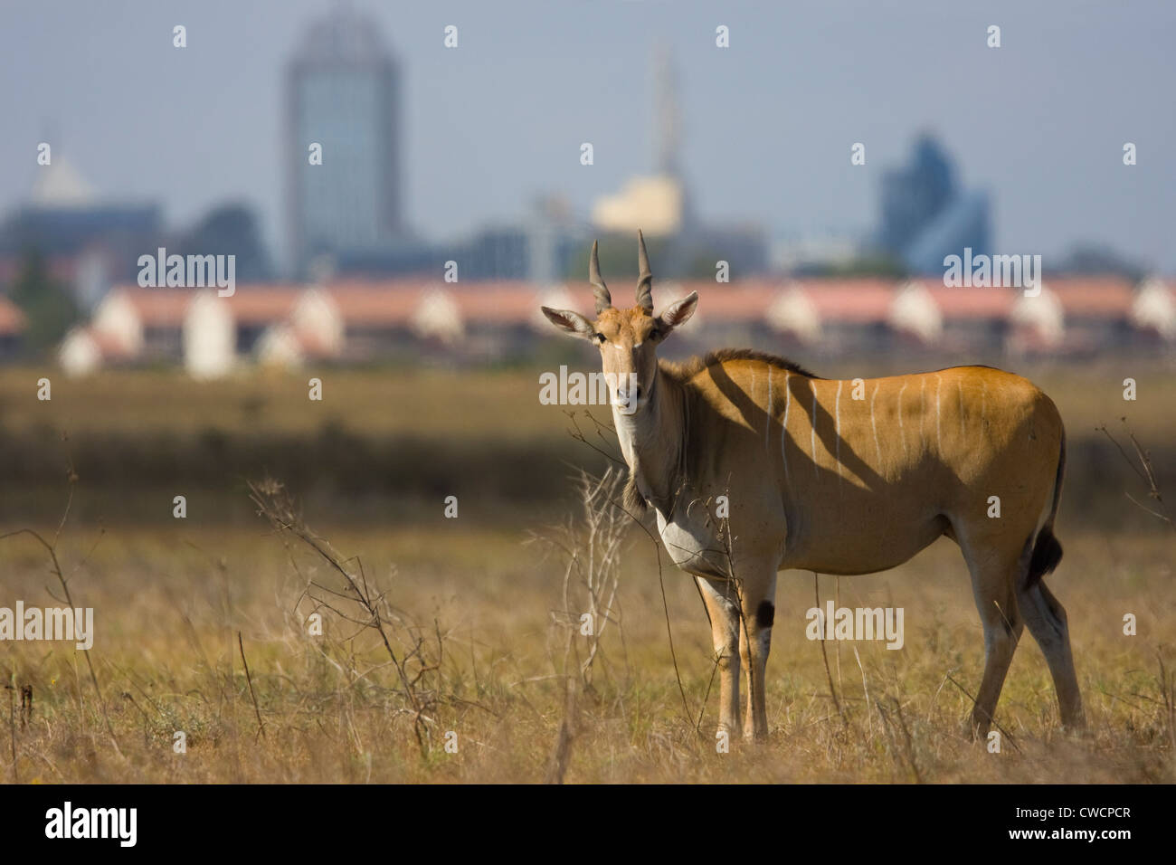 ELAND (Taurotragus oryx) with Nairobi city in background, Nairobi National Park, Kenya. - Stock Image