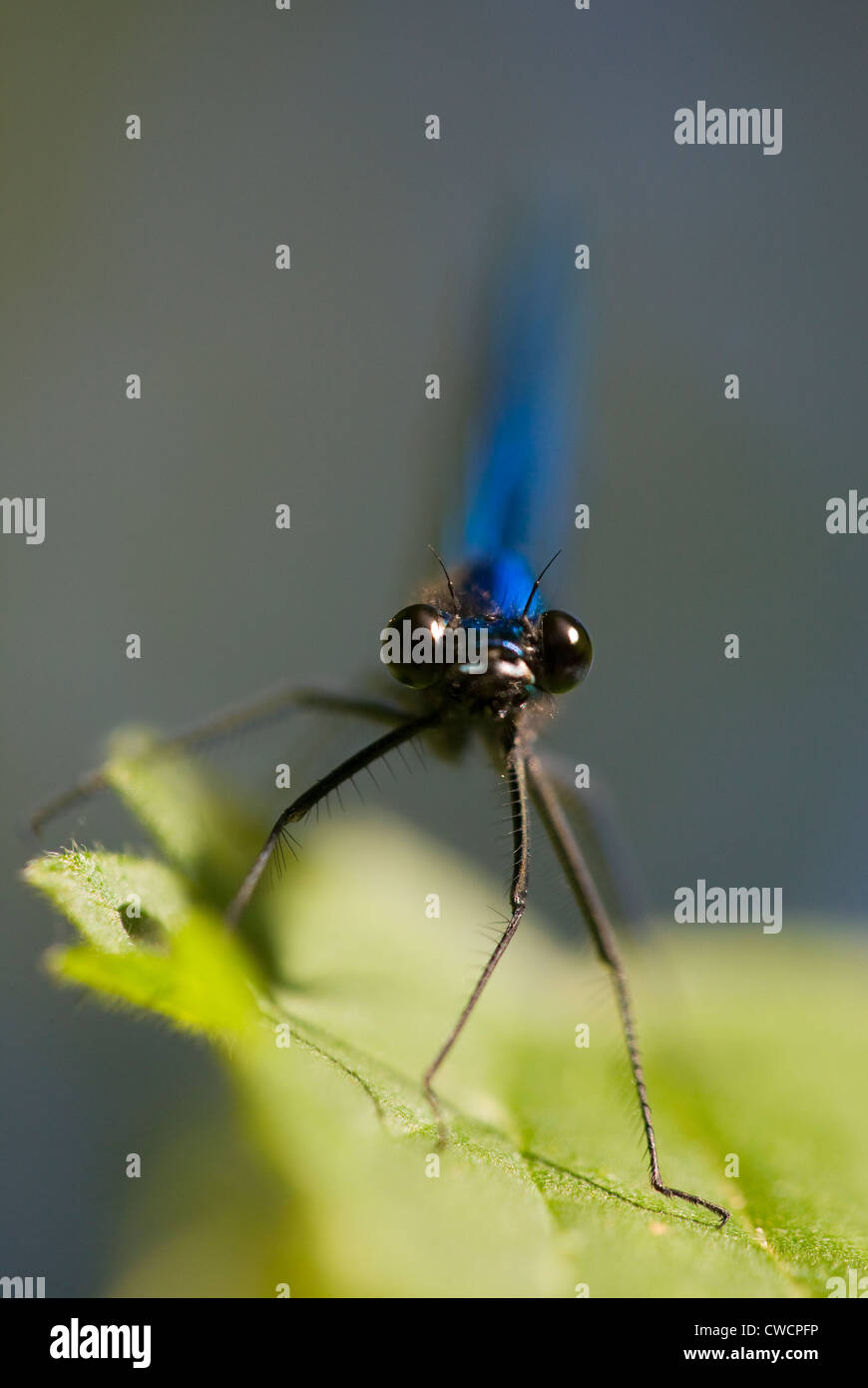 BANDED DEMOISELLE (Calopteryx splendens) male, River Ouse, Sussex, UK Stock Photo