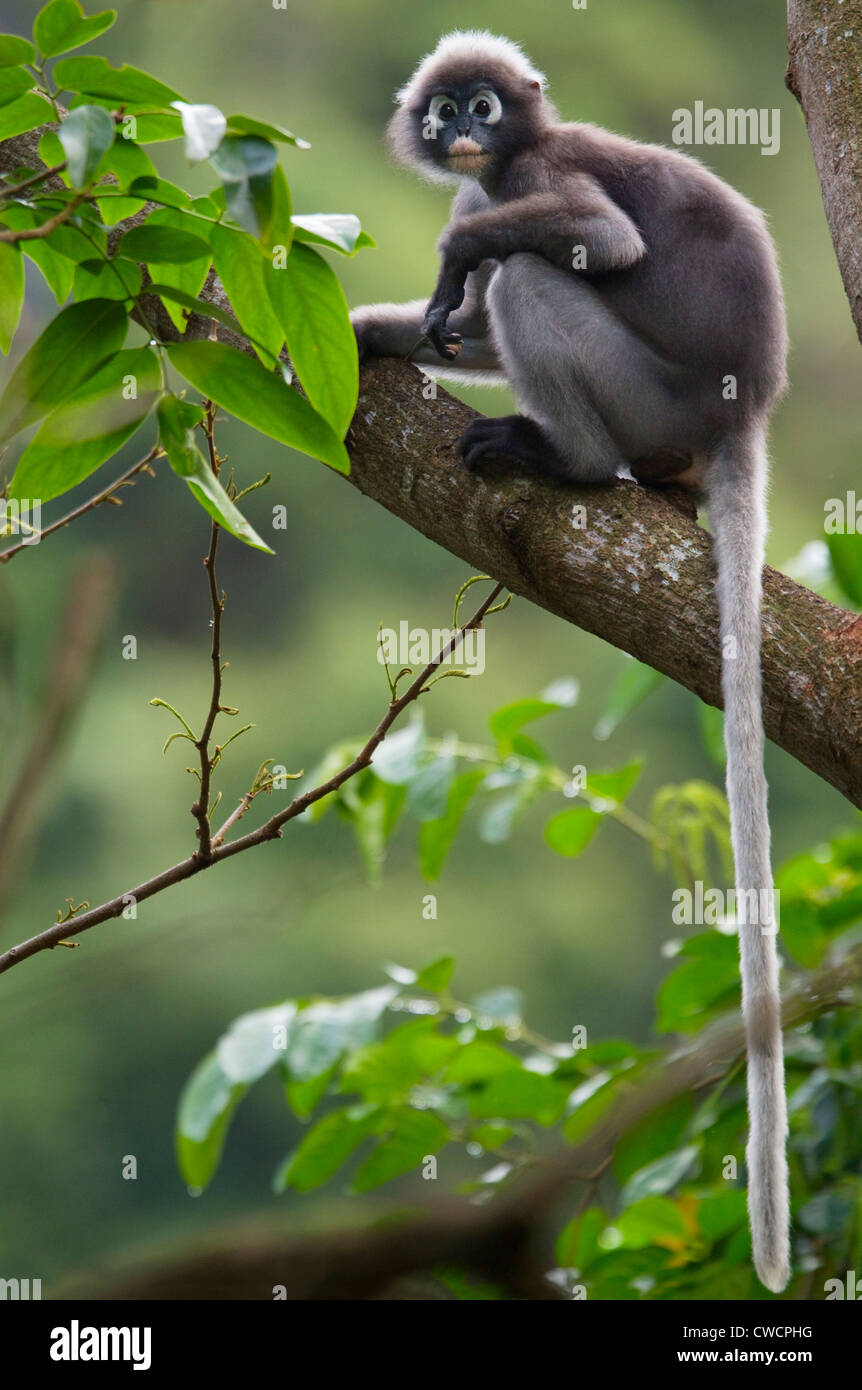 DUSKY or SPECTACLED LANGUR (Trachypithecus obscurus) Krabi province, southern Thailand. - Stock Image