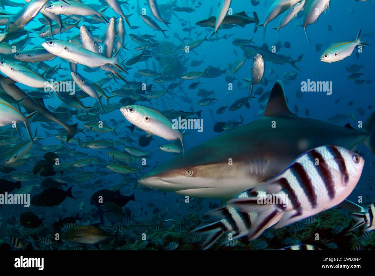 Silvertip shark Carcharhinus albimarginatus close-up in the Beqa lagoon, Fiji, South pacific - Stock Image