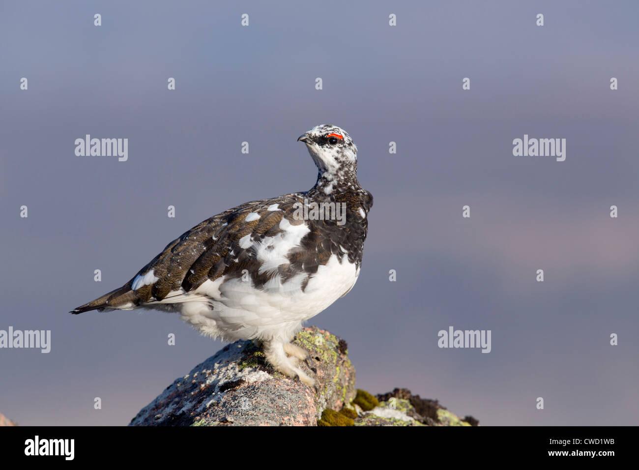 Ptarmigan; Lagopus mutus; moulting into summer plumage; Cairngorm; Scotland; UK - Stock Image