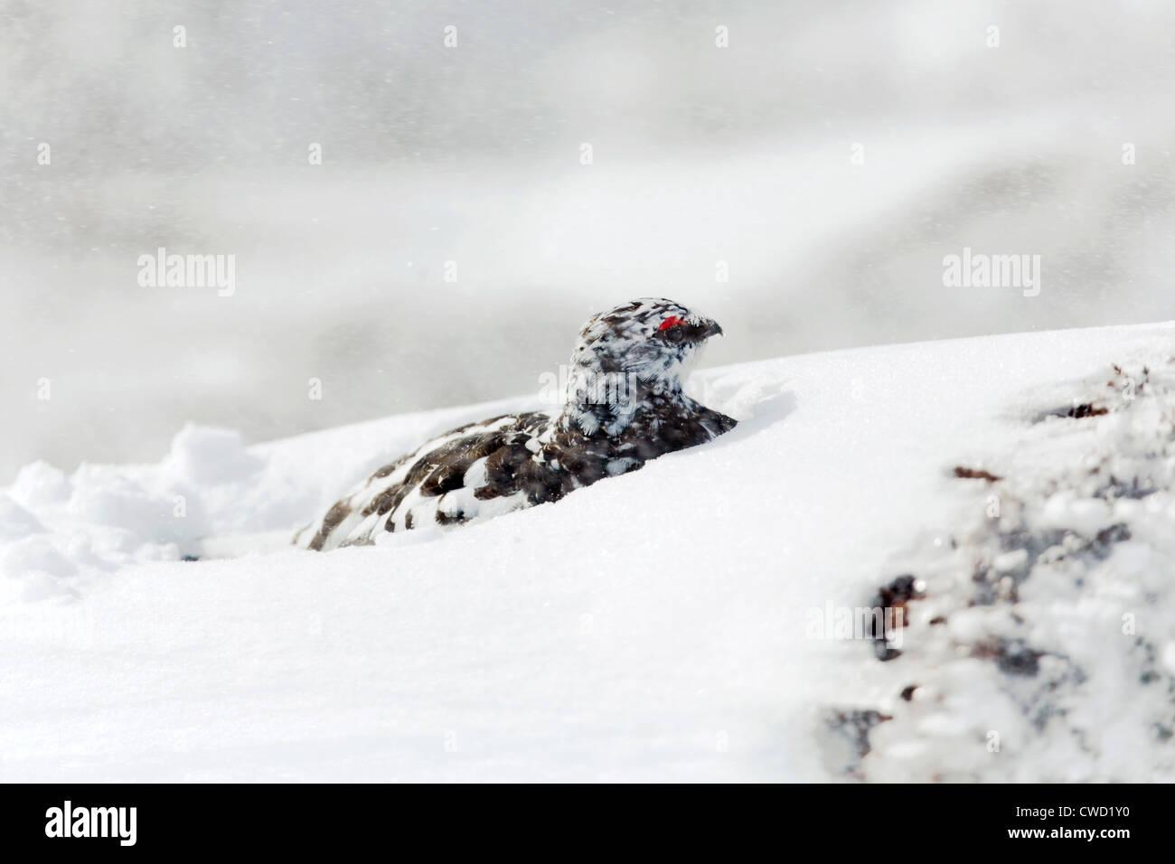 Ptarmigan; Lagopus mutus; male in snow; Cairngorm; Scotland; UK - Stock Image