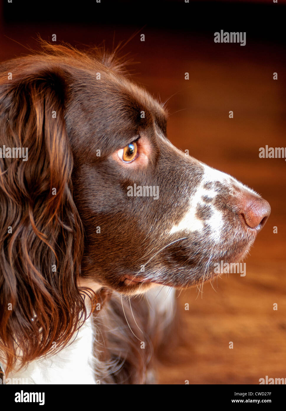 An English Springer Spaniel, liver and white in colour looking sideways in a portrait - Stock Image